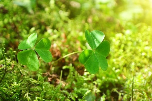 잔디와 햇볕이 잘 드는 잔디에 녹색 클로버