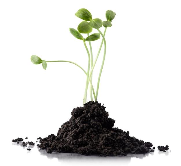 흰색 배경에 고립 된 토양 더미 더미에서 자라는 녹색 클로버 식물