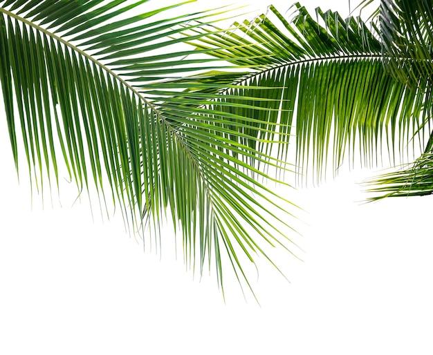 Зеленые листья кокосовой пальмы изолировать на белом фоне