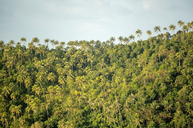 Green coconut trees in the mountain during sunset at island koh phangan, thailand