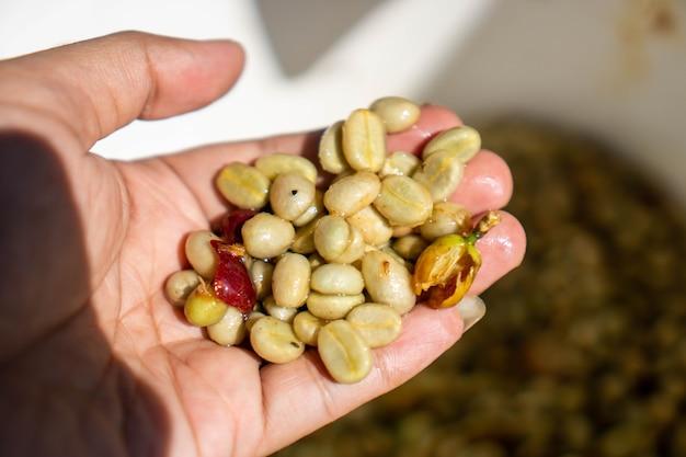 녹색 커피 콩은 커피 음료를 만들기 위해 로스팅하기 전에 생 커피 콩입니다