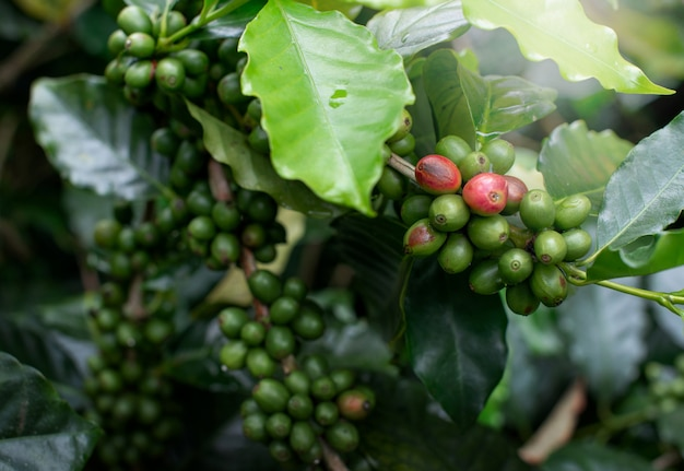 Green coffee beans on the branches of coffee trees.
