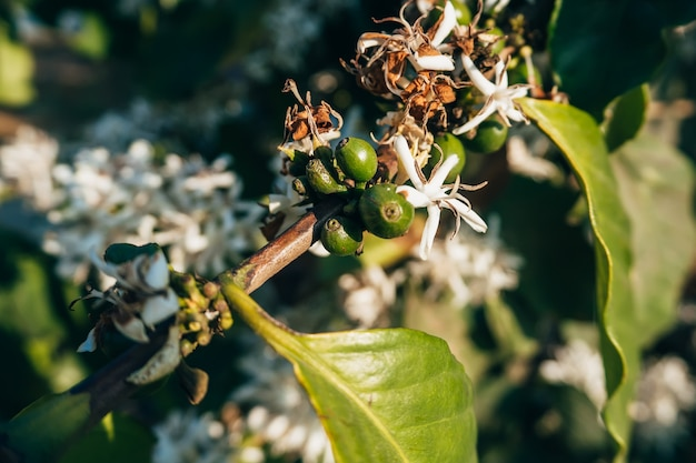 Green coffee berries with white blooming flowers on a branch