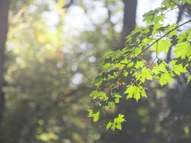 Green color of maple leaves in the spring of morning with fog