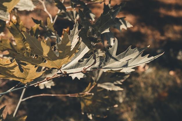 녹색 비행기 나무 잎과 과일 하늘 배경에 고립. platanus orientalis, old world sycamore, oriental plane.