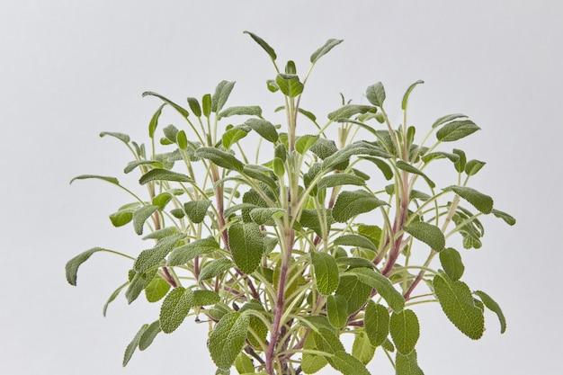 Зеленая композиция из натуральных органических свежих веток растения шалфей на светло-серой стене с копией пространства.