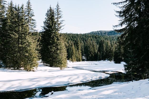 개울이 있는 눈 덮인 땅에 키 큰 나무가 있는 녹색 침엽수 숲