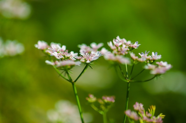 Green coriander field