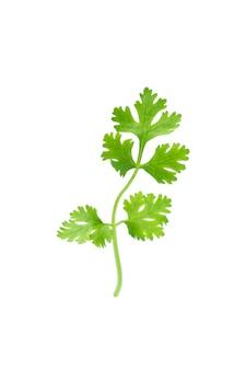 Green coriander isolation on white