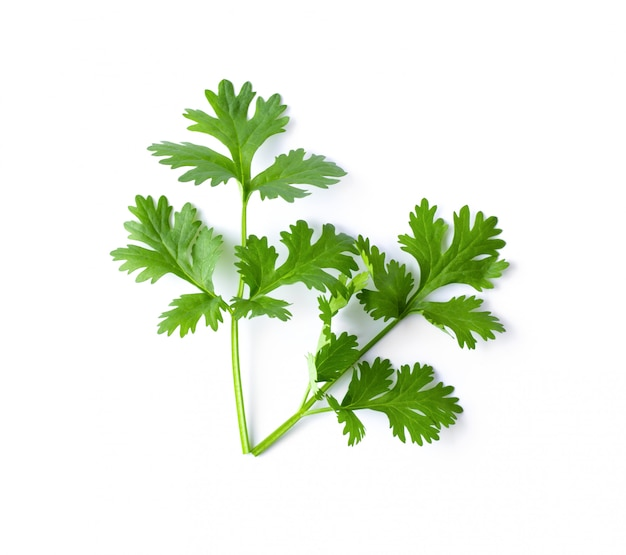Green coriander leaves close-up