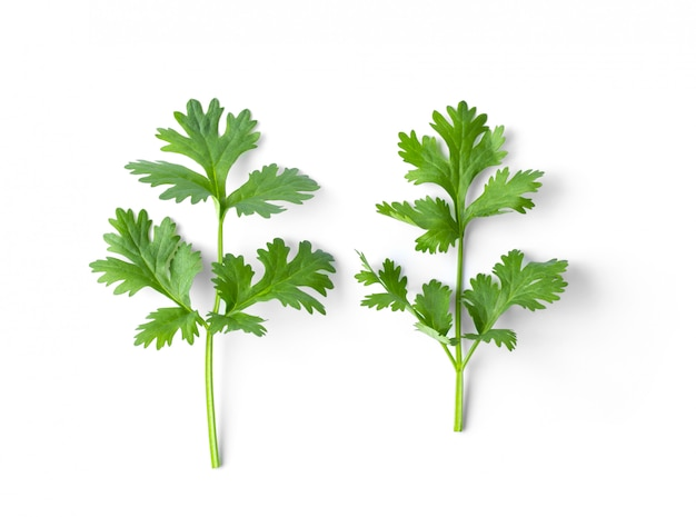 Green coriander leaves