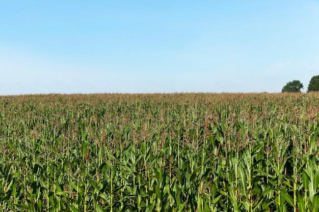 グリーンコーンフィールド-グリーンコーン、未熟トウモロコシを栽培する農地