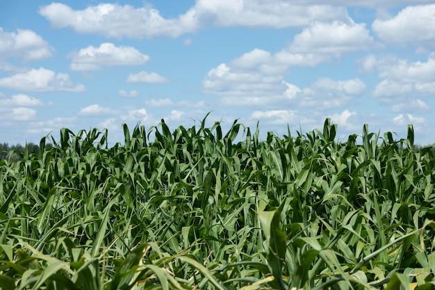 Зеленое кукурузное поле, голубое небо и солнце в летний день.