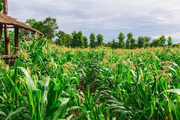 収穫を待っているトウモロコシ畑のグリーンコーン畑
