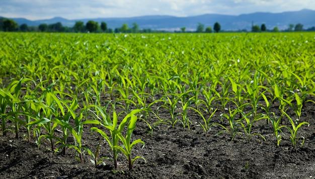 햇빛에 녹색 옥수수 밭 어린 옥수수 식물 농업 농장에서 옥수수 모종
