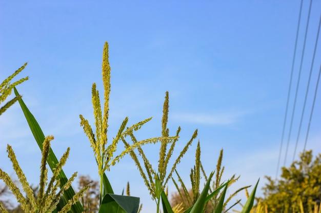 背景の青い空と緑のトウモロコシ畑。
