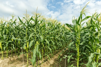 Green corn field with drip irrigation system in farm