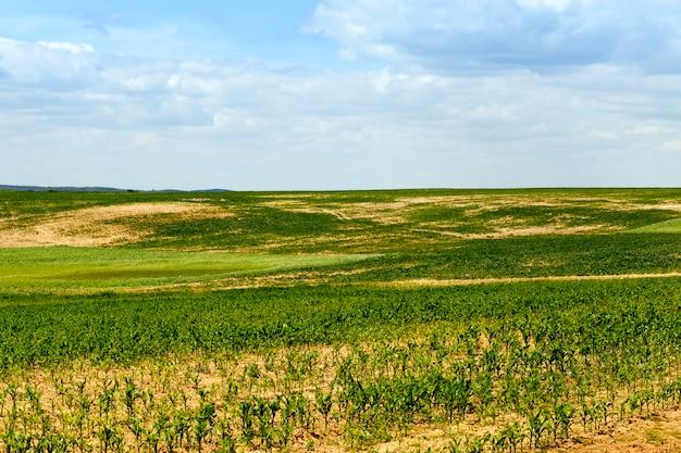 Зеленое кукурузное поле с пустыми участками земли весной в начале развития и роста