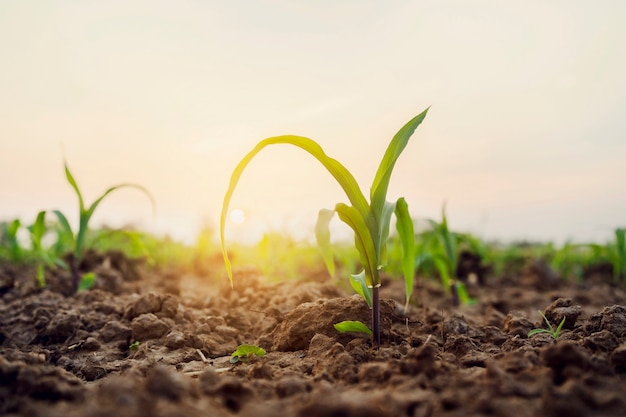 Green corn on field with sunrise. agricultural concept