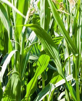 Зеленая кукуруза в сельскохозяйственном поле