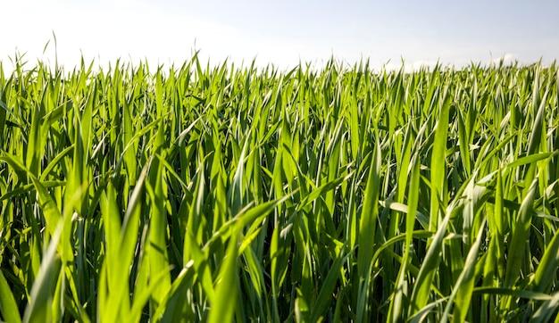 Зеленая кукуруза весной
