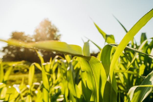 Green corn leaves catching the sun