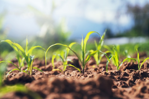 Green corn plant on field in morning light