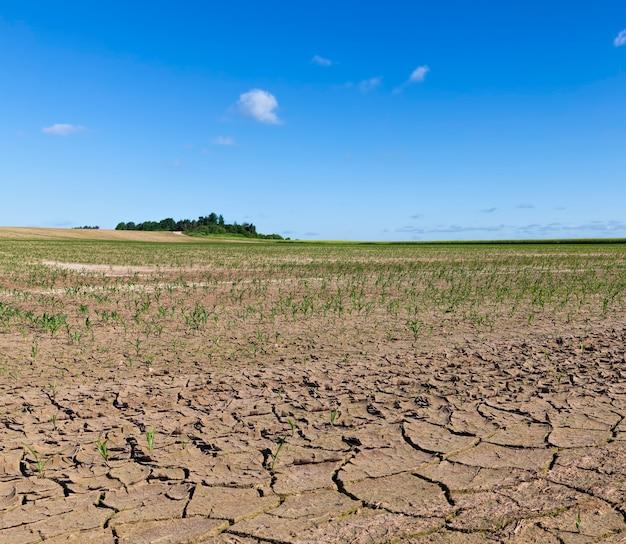 Ростки зеленой кукурузы