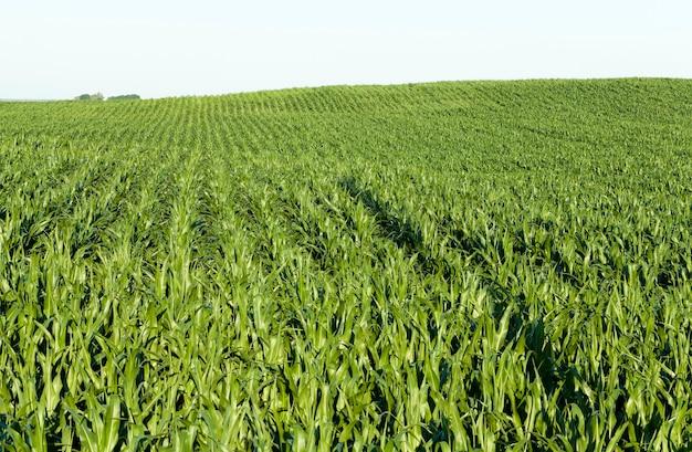 Зеленая кукуруза