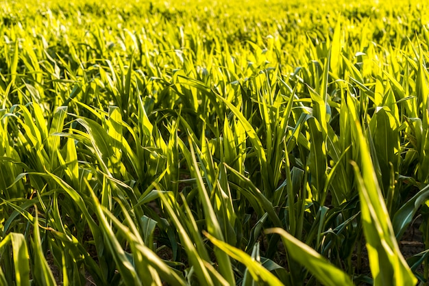 Green cornfield in a sunny day