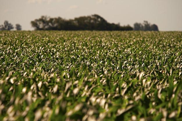 澄んだ青い空の下の緑のトウモロコシ畑