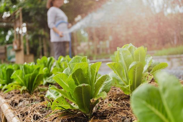 Green cos lettuce growing in a farm.