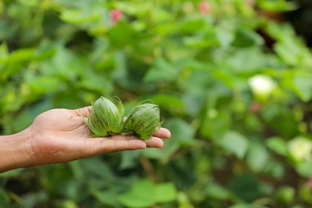 Зеленые плоды хлопка под рукой