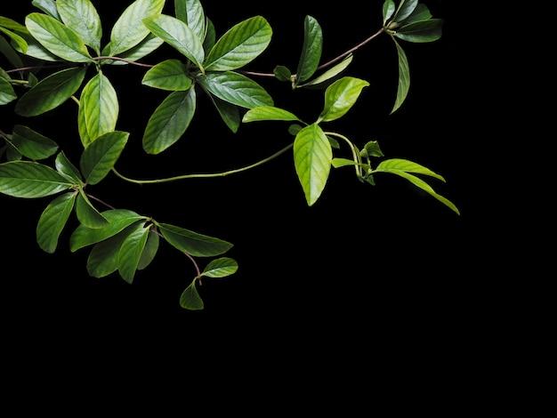 Green creeper leaves on black background