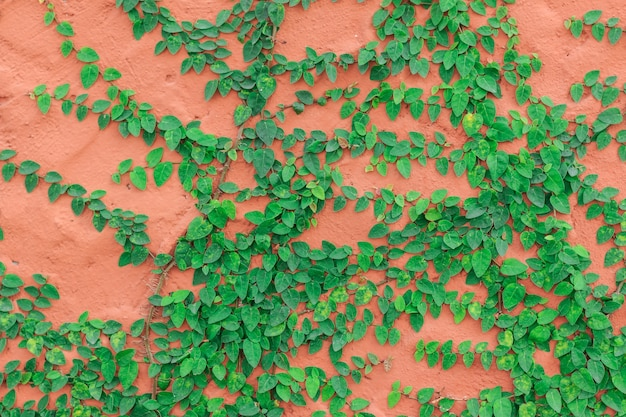 Green creeper plant growing on red  cement wall