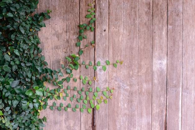 Завод зеленого лианы на деревянной стене