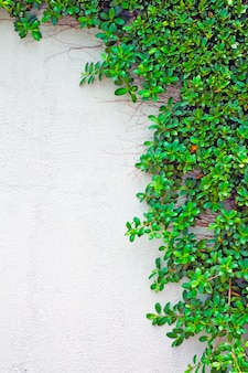 Green creeper on the wall