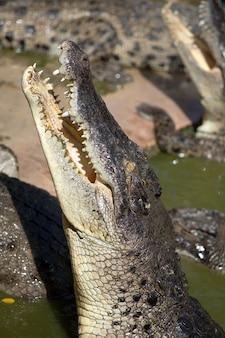 Зеленый крокодил в болоте. он голоден и охотится.