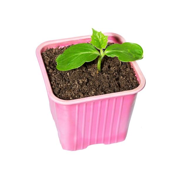 냄비에 녹색 오이 모 종을 닫습니다. 오이 새싹.