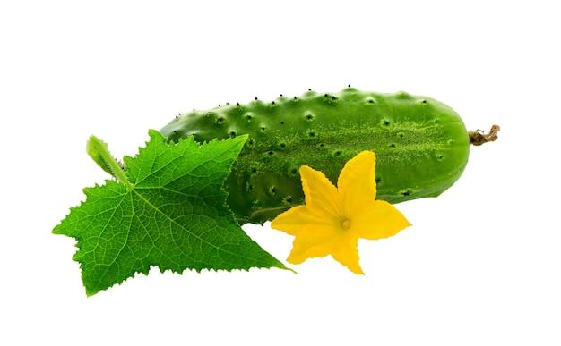 白い背景で隔離の葉と花と緑のキュウリ。新鮮な有機キュウリ野菜。キュウリ。