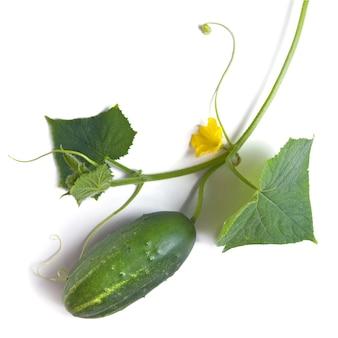 Зеленый огурец с листьями и цветком, изолированные на белом фоне
