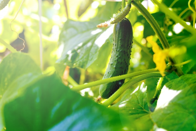 Green cucumbers on the branch weigh