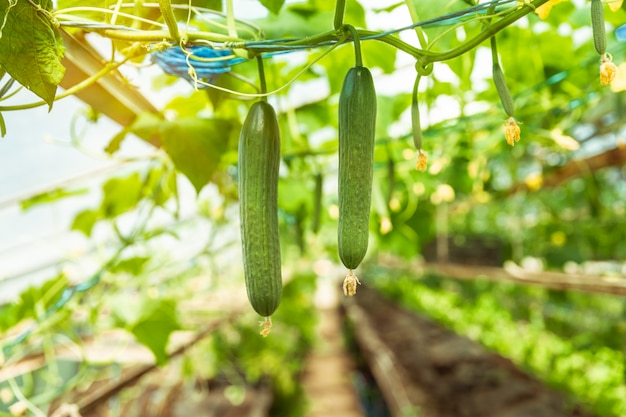 Green cucumbers growing in a greenhouse on the farm, healthy vegetables without pesticide, organic product
