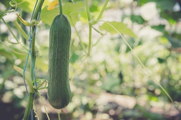 有機農場の温室で育てられた緑のキュウリ
