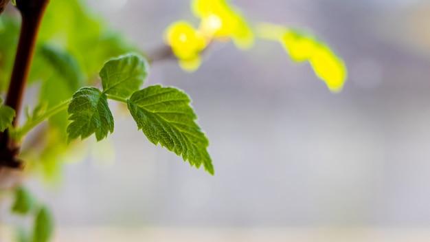 緑のスグリは晴れた日には庭の茂みに残します