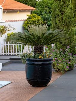 Green cycad plant of the genus cycas