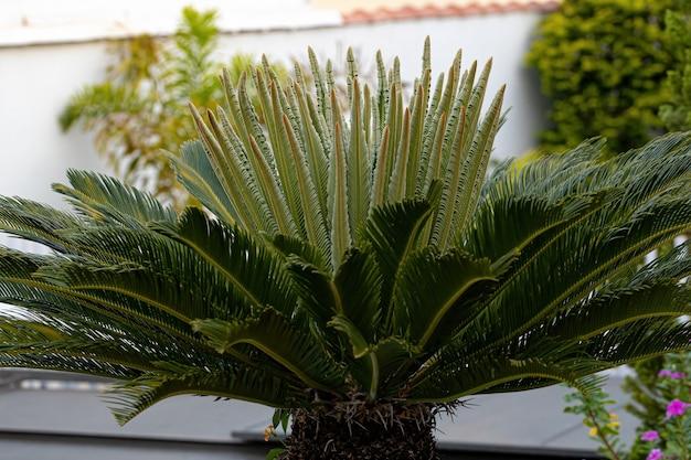 Cycas 속의 녹색 소철 식물