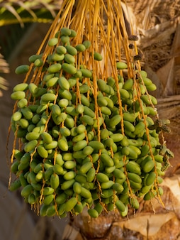 Green dates on a palm tree.