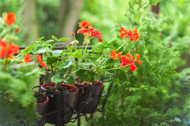 Green decoration of the balcony with hanging pots with red pelargonium