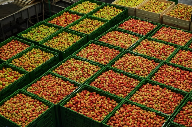Green delicious apples on packing line at fruit warehouse. food industry.